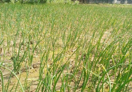 পেঁয়াজ চাষে আগ্রহী চাঁপাইনবাবগঞ্জের চাষীরা