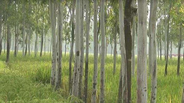 ইউক্যালিপটাস গাছ রোপণ বন্ধের দাবি, এই গাছের প্রভাবে নষ্ট হচ্ছে পরিবেশের ভারসাম্য